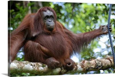 Cheeky orangutan sitting on branch in Borneo.