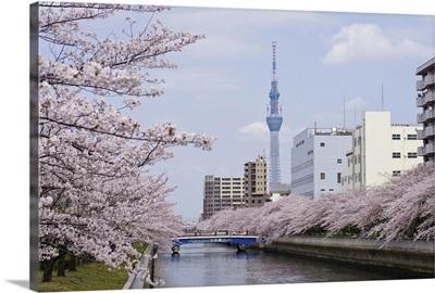 Cherry blossom trees along river, Tokyo.
