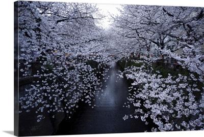 Cherry blossoms at Meguro river, Tokyo, Japan