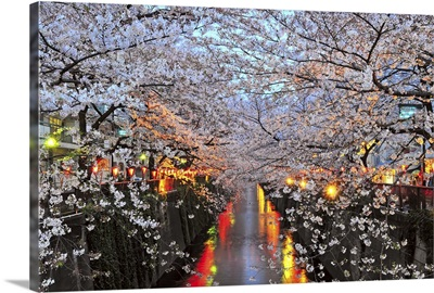 Cherry blossoms in Naka Meguro during the evening, Japan
