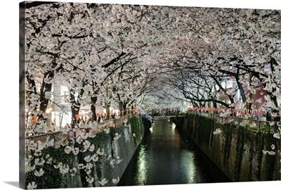 Cherry blossoms over Meguro River, Tokyo, Japan