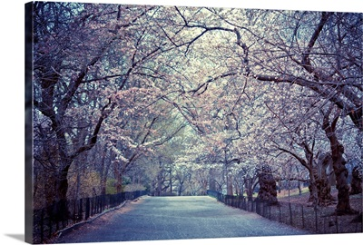 Cherry blossoms trees in Central Park's bridle path in New York City.