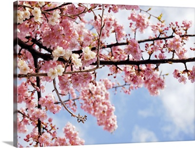 Cherry blossoms under blue sky, Tokyo, Japan.
