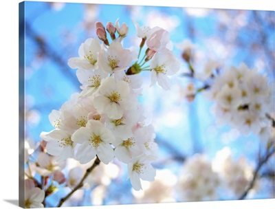 Cherry blossoms with clear sky.