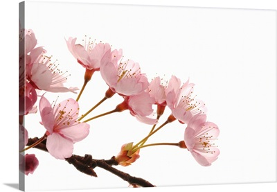 Cherry Flowers, Close Up, White Background