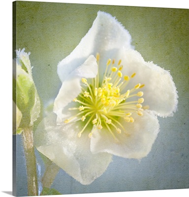 Christmas rose against textured background.