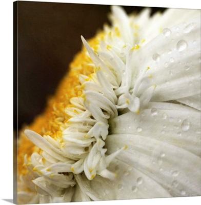 Chrysanthemum daisy with raindrops