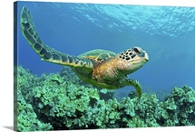 Close up endangered green sea turtle over coral reef in Makena, Maui, Hawaii.