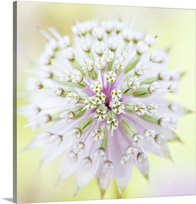 Close up full frame image of an Astrantia major flower.