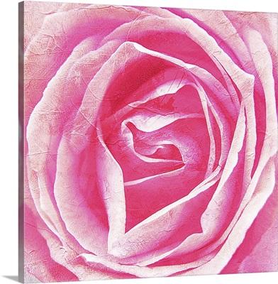 Close up image of pink rose bloom.