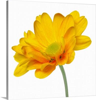 close-up of a chrysanthemum