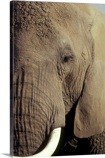Close-up of African Elephant's face
