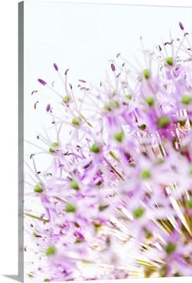 Close up of allium flower head