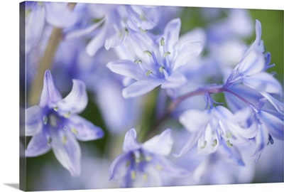 Close up of bluebells.