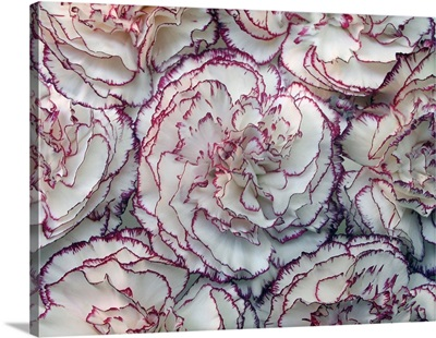 Close up of carnations flowers.
