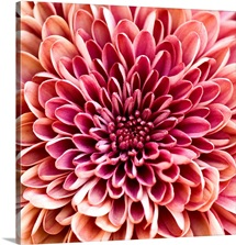 Close up of chrysanthemum.