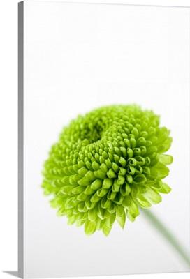 Close up of Chrysanthemum flower head