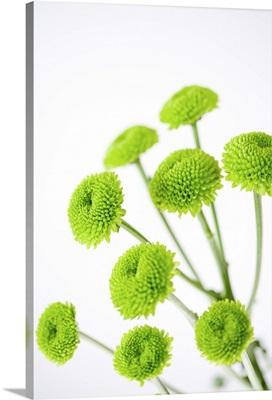 Close up of chrysanthemum flower heads