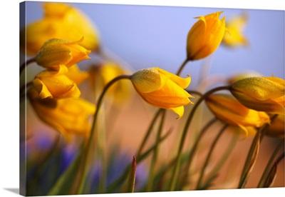 Close-Up Of Daffodils