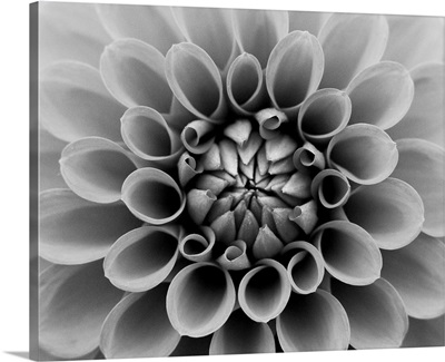 Close up of dahlia.