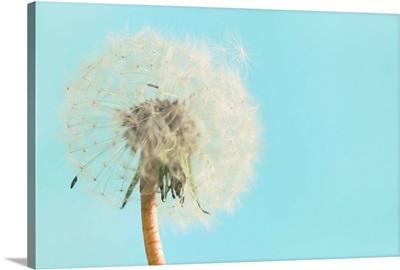 Close up of dandelion flower on sky blue background