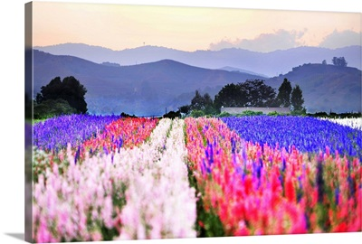 Close up of flowers tulips in rows in fields with mountains.