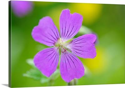 Close up of geranium flower.