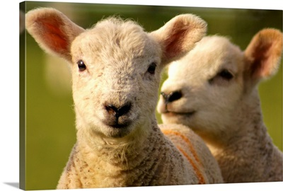 Close up of lambs in field.