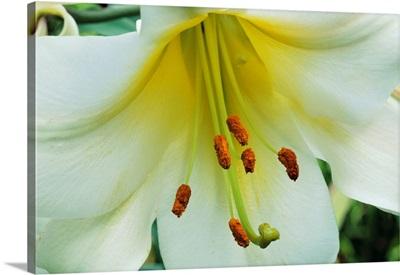 Close Up Of Lilium Longiflorum