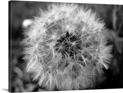 Close up of little shining star dandelion on sidewalk.