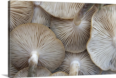 Close up of mushrooms from underneath.