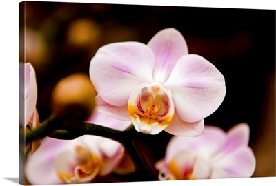 Close up of Orchid flower against dark background.