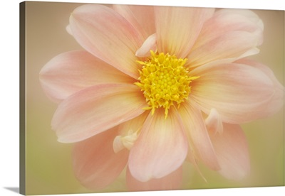 Close-up of pink dahlia flower, US.