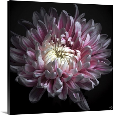 Close up of pink dhalia with black background.