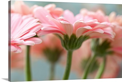 Close-up of pink gerbera daisies.