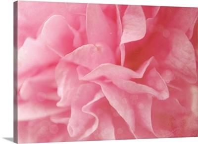 Close up of pink Hollyhock flower.