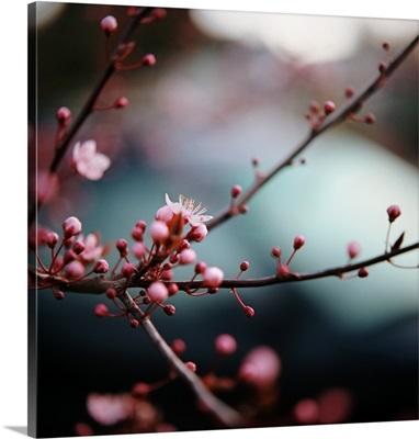 Close-up of plum blossoms.