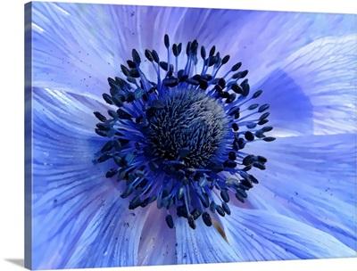 close up of purple poppy anemone.