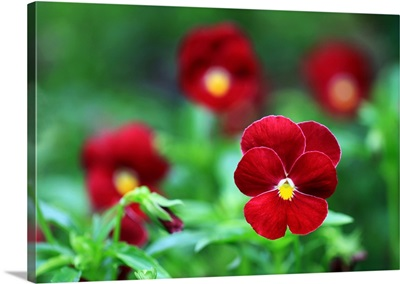 close up of red flowers in garden.