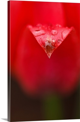 Close up of red tulip petal bends under the rain.