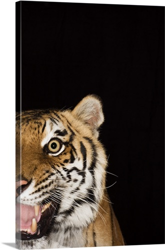 close up of roaring tiger s face wall art canvas prints framed