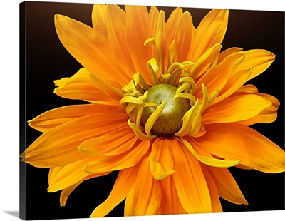 Close-up of Rudbeckia flower, on black background.