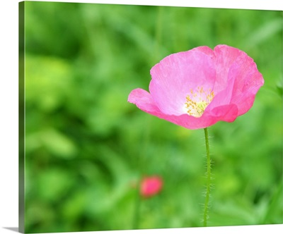 Close up of single pink poppy with yellow stamens growing in green meadow.
