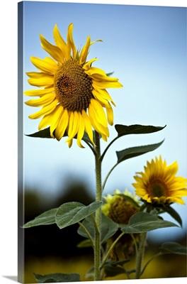 Close up of sunflowers.
