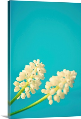 Close up of two white muscari flowers on bright light blue background.