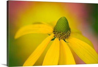Close-Up Of Yellow Coneflower