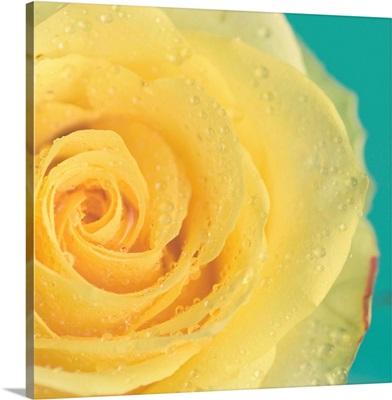 Close up of yellow rose.