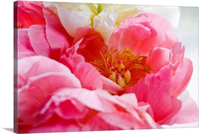 Close up shot of a pink peony