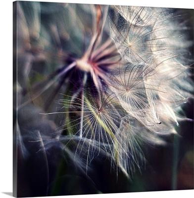Close up shot of large dandelion.
