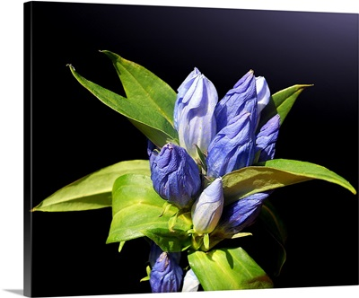Closed bottle gentian with beautiful details of blue blossoms.
